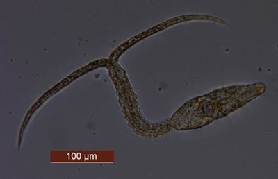 3.Diplostomum-loisen kerkaria-toukka_Gopko