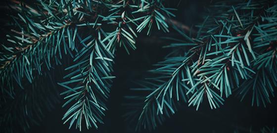 Kuusijuhla ja joulupuuro