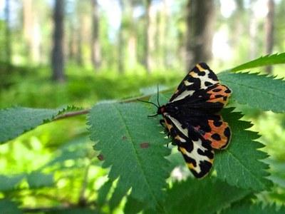 Butterfly-täpläsiilikäs