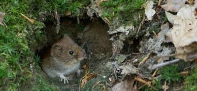 Pelästyneet naapurit saavat metsämyyrät lisääntymään