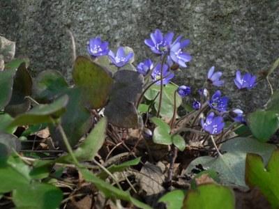 sinivuokot