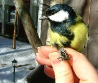 Great tit held by Hannah